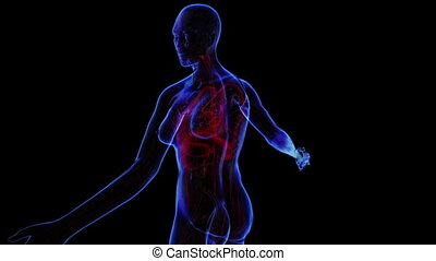 All human body systems. Transition body - female respiratory system - body. Loop