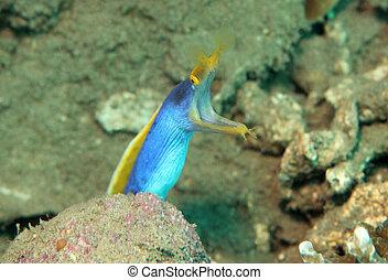 Female Ribbon Eel (Rhinomuraena Quaesita), Lembeh Strait,...
