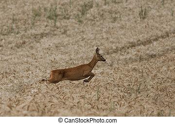 female roe deer running in wheat field