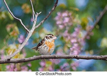 female rose-breasted grosbeak displays its orange and yellow...