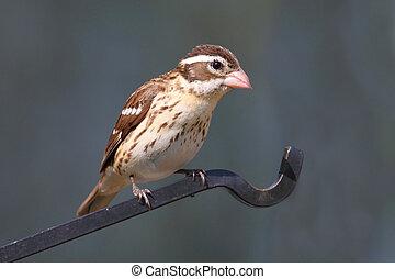 Rose-breasted Grosbeak (Pheucticus ludovicianus) - Female ...