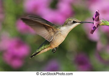 Female Ruby-throated Hummingbird (archilochus colubris) in flight at a flower with a colorful background