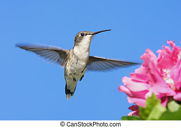 Female Ruby-throated Hummingbird (archilochus colubris) in flight with a Hibiscus flower
