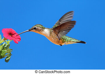 Female Ruby-throated Hummingbird (archilochus colubris) in flight with a red calibrachia flower and a blue sky background