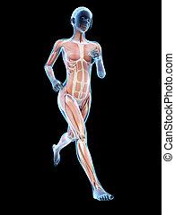 Female runner - Woman running - visible anatomy of the...