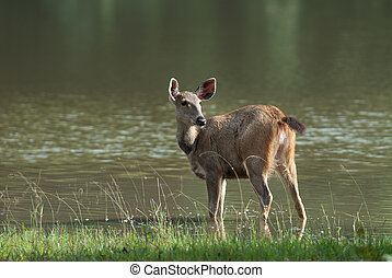 Female Sambar deer(Rusa unicolor ) relax on the ground in nature, Thailand