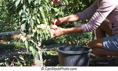 Female seasonal worker picks ripe juicy apples from tree in farm orchard and puts them in a bucket. Agricultural theme