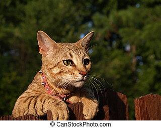 Female Serval Savannah Cat
