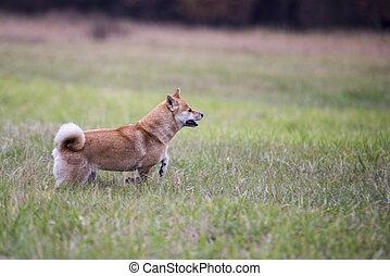 female shiba inu dog running on grass