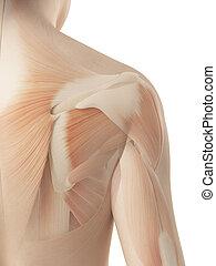 3d illustration of the female shoulder - muscular anatomy