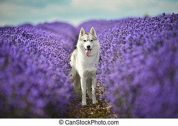 Siberian Husky - female Siberian Husky portrait in lavender...