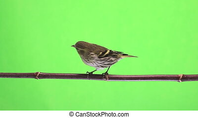 female siskin isolated on a green background, studio