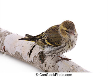 male siskin - female siskin isolated on a white background,...