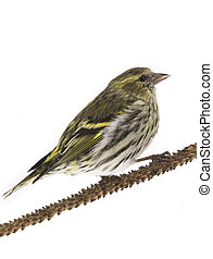 female siskin isolated on a white background, studio shot