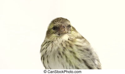 female siskin isolated on a white background, studio