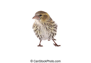 female siskin - siskin isolated on a white background,...