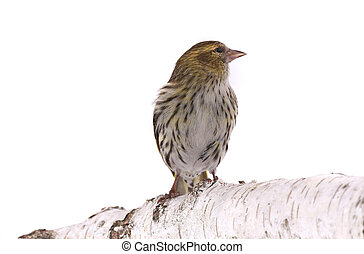 female siskin - siskin solated on a white background, studio...