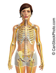 female skeletal anatomy