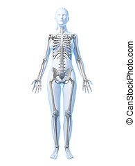 Female skeleton - 3d rendered illustration of the female...