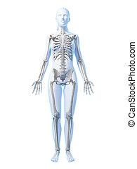 Female skeleton - 3d rendered illustration of the female ...