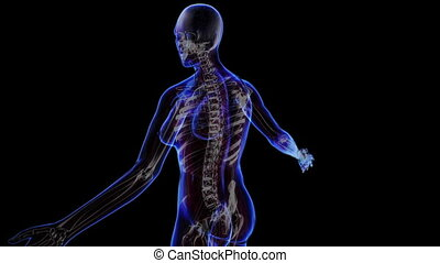 Female skeleton - All human body systems. Transition body -...