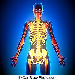 Female Skeleton detail - Anatomy Bones