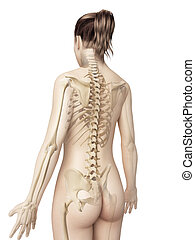 Female skeleton from behind - 3d illustration of the female...