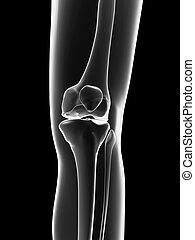 Female skeleton - knee joint