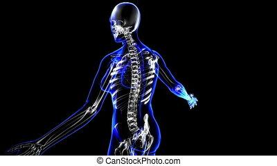 Female skeleton. Loop