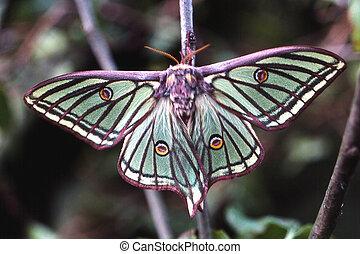 Spanish Moon Moth - Female Spanish Moon Moth