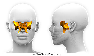 Female Sphenoid Skull Anatomy - isolated on white