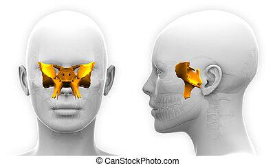 Female Sphenoid Skull Anatomy - isolated on white