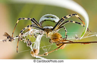 female spider Argiope Bruennichi in their natural habitat,...