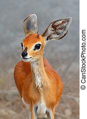 Female Steenbok closeup