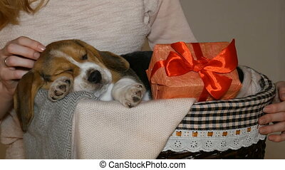 female strokes a sleeping beagle puppy in small dog basket...