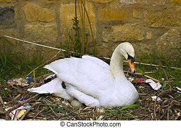 Female swan tending eggs in her nest