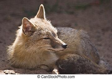 Female swift fox resting in the sunshine