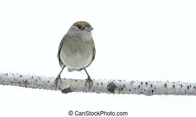 female (Sylvia atricapilla) Eurasian Blackcap isolated on a ...