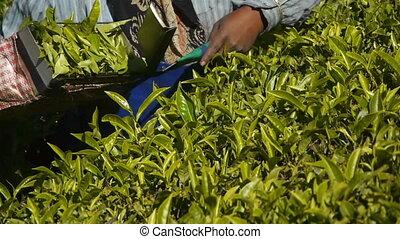 Female tea-pickers in Munnar, India