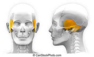 Female Temporal Bone Skull Anatomy - isolated on white