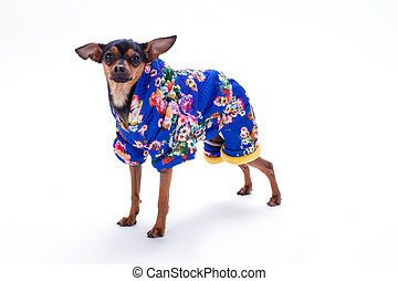 Female toy terrier in floral print costume.