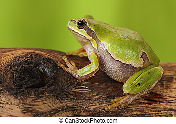 female tree frog