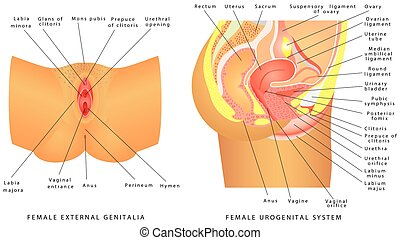 Female urogenital system. Anatomy of the female reproductive...