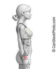 Female uterus anatomy