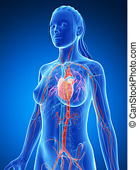 Female vascular system - 3d rendered illustration of the ...