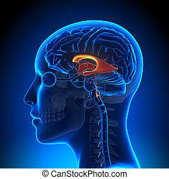 Female Ventricles - Anatomy Brain