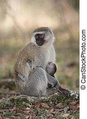 Female vervet nursing baby with turned head