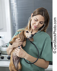 Female Vet Examining Dachshund With Stethoscope