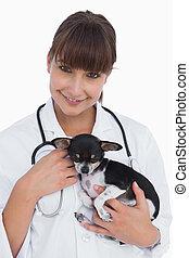 Female vet holding a cute chihuahua