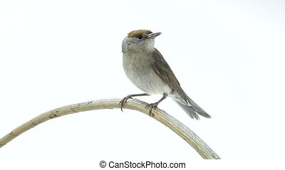 female (Sylvia atricapilla) Eurasian Blackcap isolated on a...